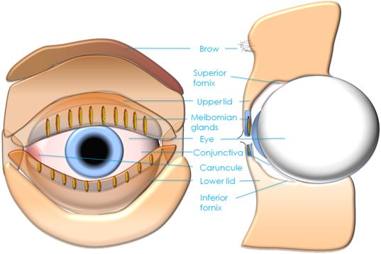 Oculoplastic surgery below is a detailed diagram of the upper eyelid ccuart Gallery