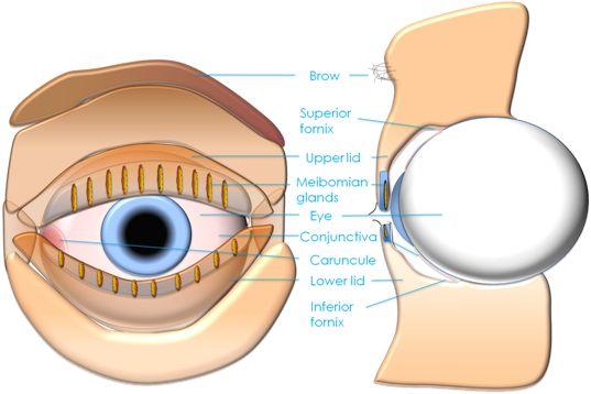 Eyelid, eye and lacrimal drainage anatomy