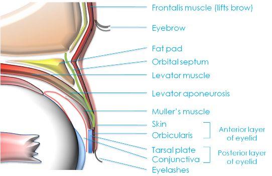 Eye Anatomy An Introduction Clinica London