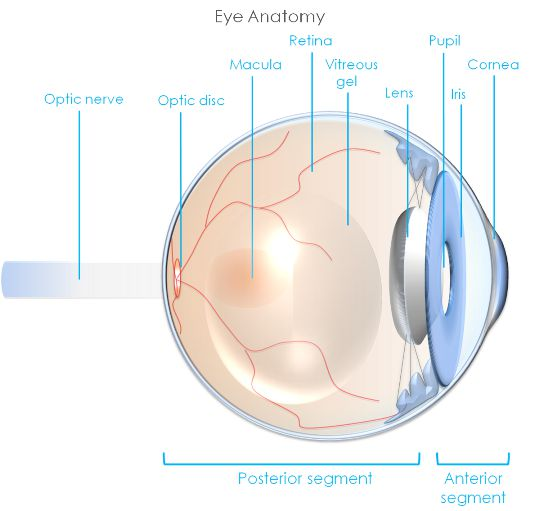 Eyelid, eye and lacrimal drainage anatomy