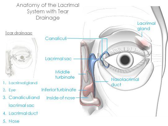 Eye anatomy an introduction clinica london eyelid eye and lacrimal drainage anatomy ccuart Choice Image